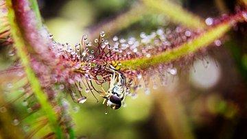 Syrphe prise au piège de Drosera binata